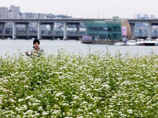 荞麦花开!首尔汉江边的浪漫之地